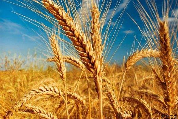 应对世界粮食危机,小麦育种很关键