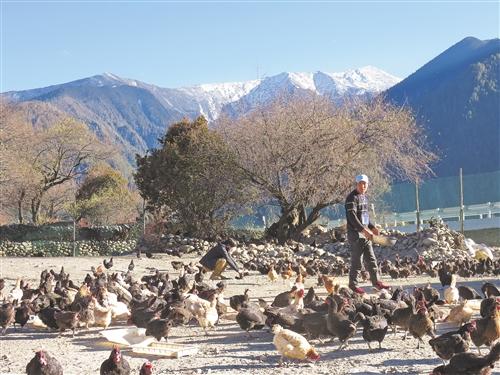 今年国内肉鸡销售量价齐升 养鸡业如何把握猪肉替代机会