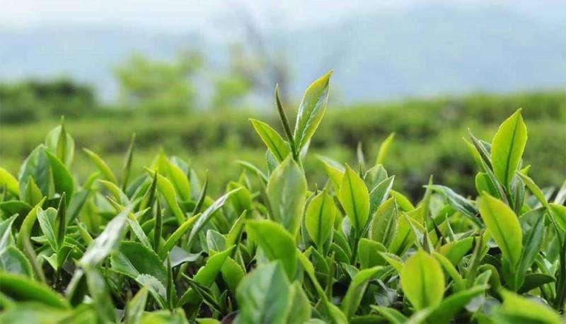 市场监管总局撤销7批次有机绿茶产品认证证书