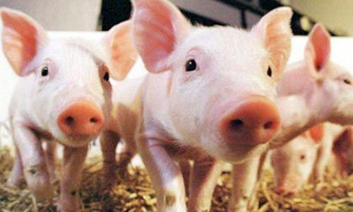 猪肉价格为何连续快速上涨?