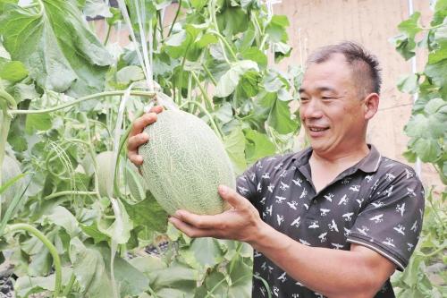 网纹瓜种植助农增收