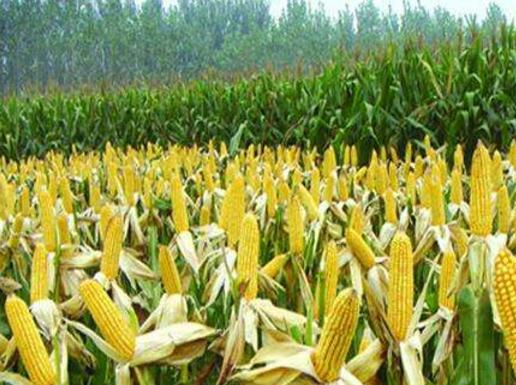 玉米即将上市价格或下跌