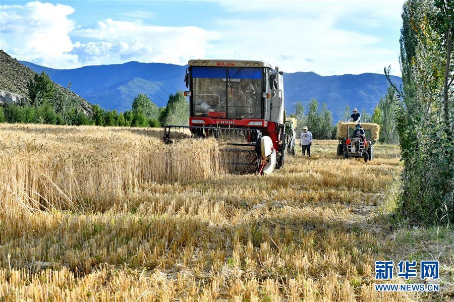 西藏山南:青稞收割忙