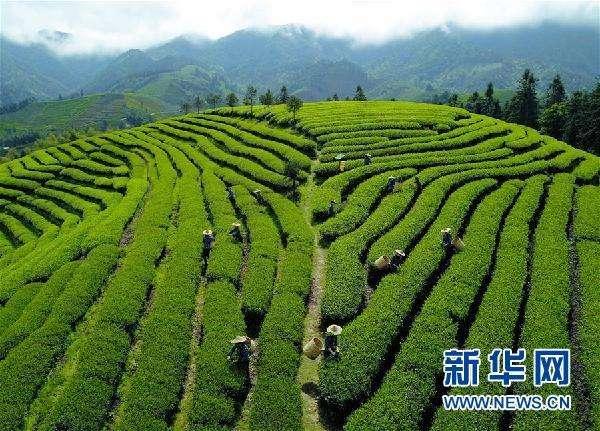 两部门:继续对边销茶销售免征增值税