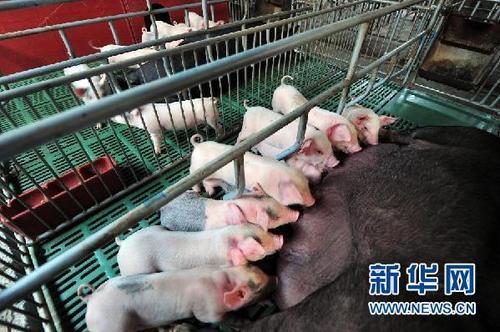 四季度生猪生产有望止跌企稳——访中国农科院农业信息研究所副研究员朱增勇