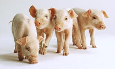 生猪养殖股三季报业绩出现大逆转
