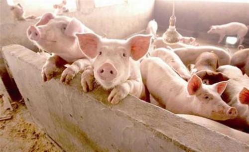 猪肉价格持续上涨 养殖户:有多少猪猪贩子都收
