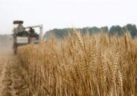 中国夏粮小麦进入集中收获期 进展顺利已收获约两成